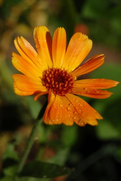 calendula in garden