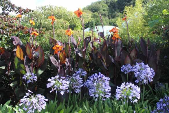 canna lily
